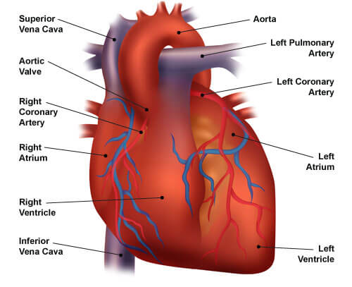 Congestive heart failure the essence of heart failure course heart diagram ccuart Gallery