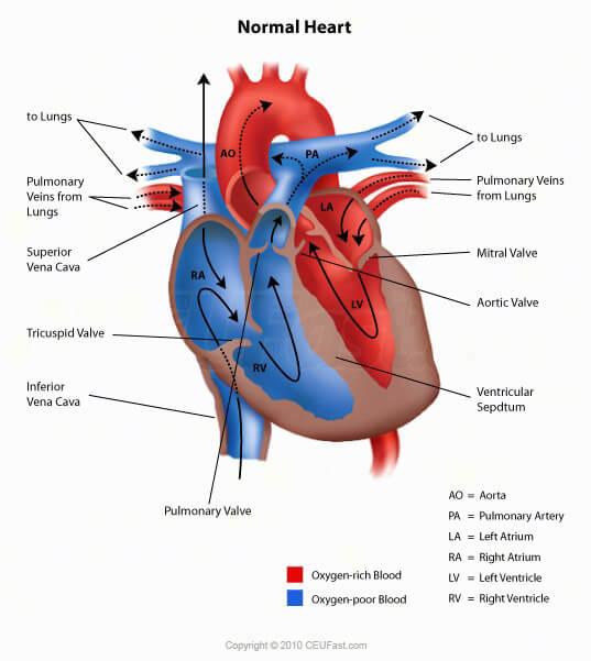 ceufast - ecg interpretation, Muscles