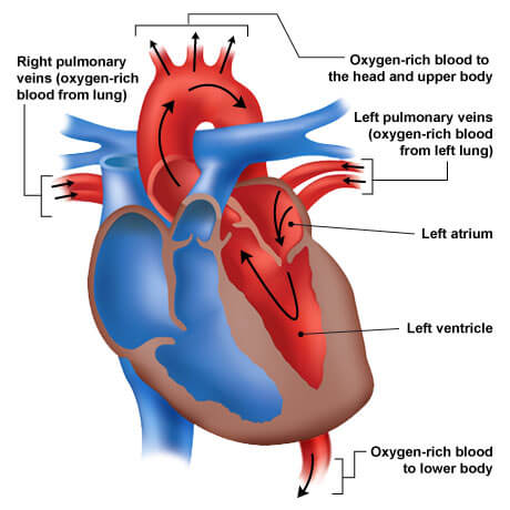 Left heart chamber blood flow
