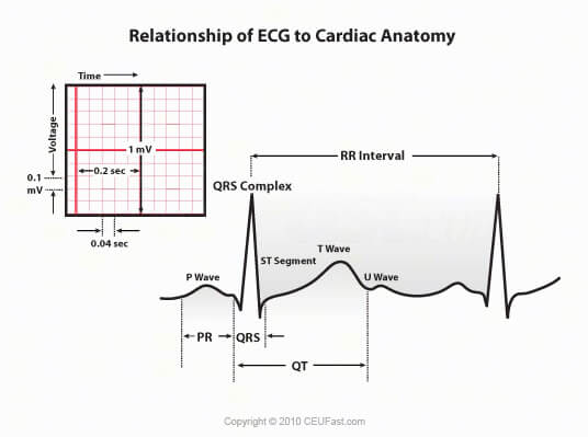relationship of ecg to cardiac anatomy