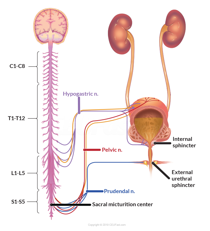 Figure 2 - Neurologic Innervation of Urinary System
