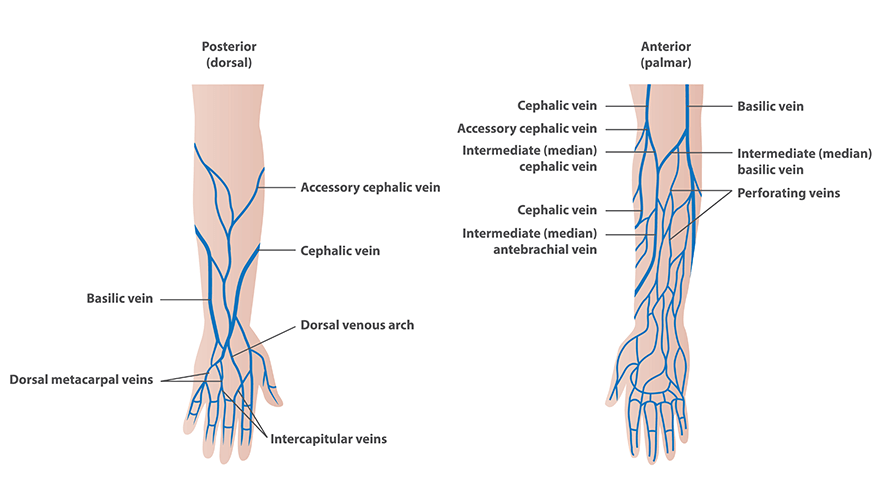 Veins for Venipuncture