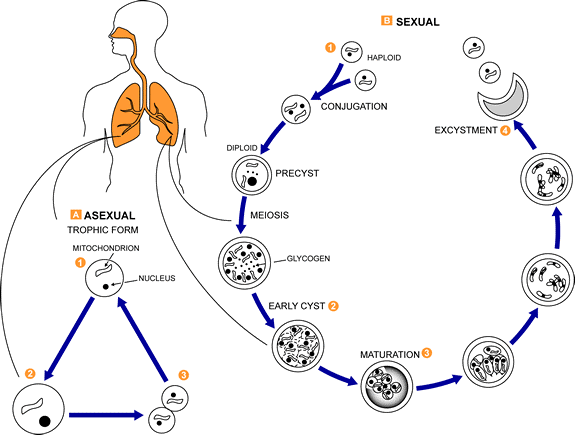 Pneumocystis Stages