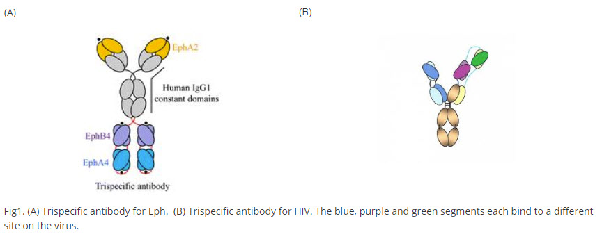 trispecific-antibodies illustration